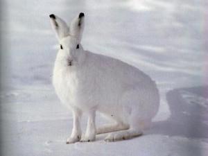 Заяц-беляк-300x225.jpg